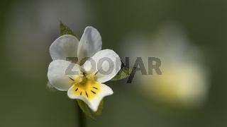 Feldstiefmütterchen - Viola arvensis