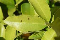 Schildlaeuse, Coccoidea