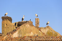 Paradise for storks. These storks nest on the ruins of an abandoned church