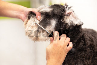 Professional groomer combing the dog's hair with a comb.