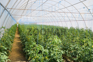 Tomatoes in the greenhouse. Tied tomatoes in the ranks