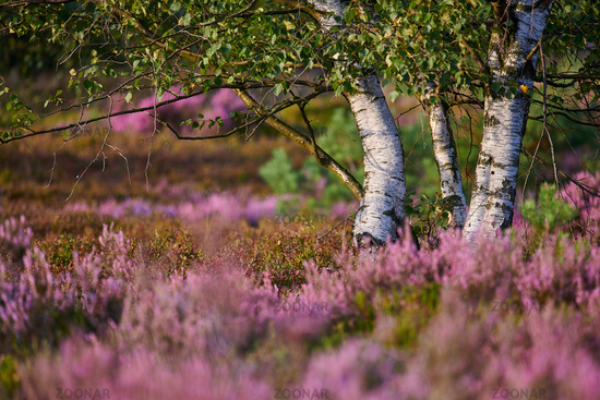 birch in  the Lueneburg Heath