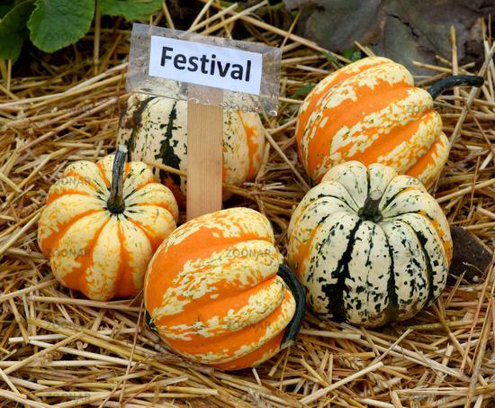 Festival, Kuerbis, Speisekuerbis