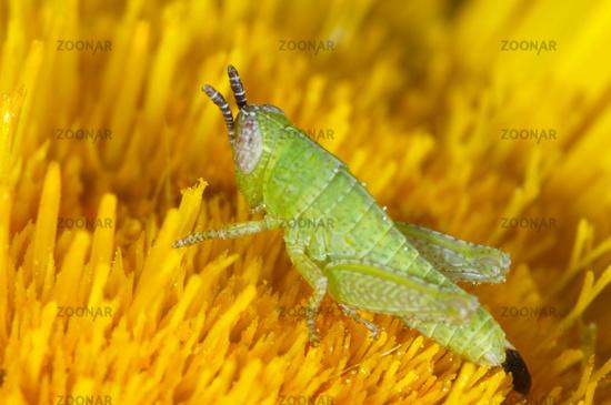 Nymph of Grasshopper