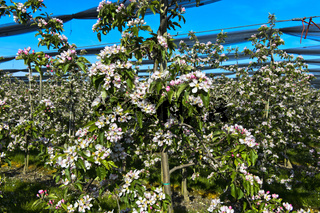 Blühende Apfelbäume in Niederstamm-Kultur zur Blüte, Thurgau, Schweiz