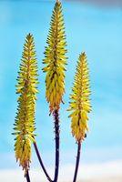 Aloe Vera Blossom