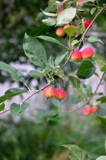 Paradise apples on a branch with green leaves in the farm garden. Harvest time
