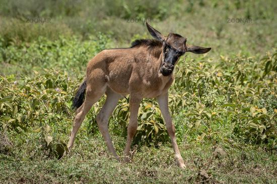 Blue wildebeest calf walks past tossing head