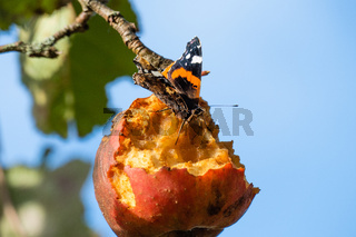 Atalanta butterfly on decaying apple in tree