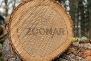 Schnittfläche eines gefällten Waldbaumes - Nahaufnahme Jahresringe