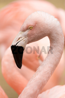 Head and neck of Chilean Flamingo (Phoenicopterus chilensis)