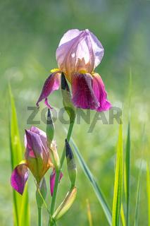 Lila Lilien Blüte vor unscharfem grünen Hintergrund  mit Grashalmen und Blättern