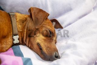 Miniature pinscher dog sleeping on a carpet