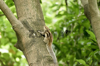 A striped rodents marmots chipmunks squirrel (Sciuridae arboreal species of flying squirrels family) spotted on a tree trunk on hunting mood. Animal behavior themes. Animals in the wild background.