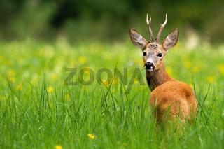 Roe deer buck looking behind on a green meadow with yellow flowers in summer.