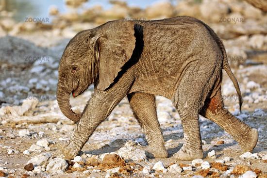 very young elephant, Etosha National Park, Namibia, (Loxodonta africana)