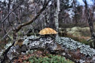 fungus grew on bend of rotten birch trunk