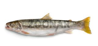 Fresh kundzha whitespotted char