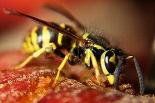 Macro View of a Wasp Eating a Red Apple