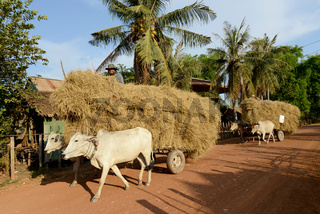 CAMBODIA SIEM REAP AGRICULTURE OX CART