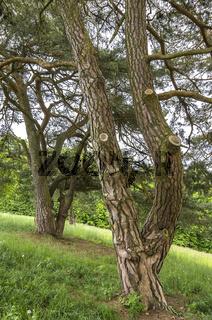 Nadelbäume