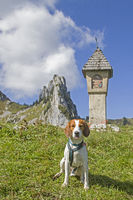 Beagle in the Tegernsee Alps