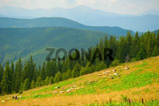 Sheeps herd grazing on meadow