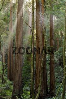 Sun Shining thru Old Growth Coast Redwood Trees.
