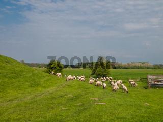 Schafe auf dem Elbdeich in Hetlingen, Haseldorfer Marsch, Schleswig Holstein, Deutschland, Europa