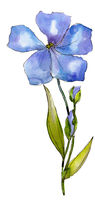 Watercolor blue flax flower. Floral botanical flower. Isolated illustration element.