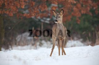 Roe deer, capreolus capreolus, in deep snow in winter.