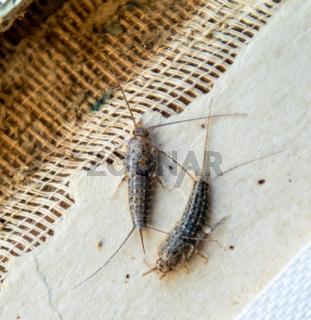 Pest books and newspapers. Insect feeding on paper - silverfish, lepisma