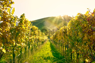 Vineyard Rows Wine Outdoors Daytime Changing Seasons Fall Autumn Leaves Colorful Farming Agriculture Warm Colors