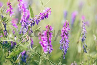 Beautiful purple bird vetch flowers.
