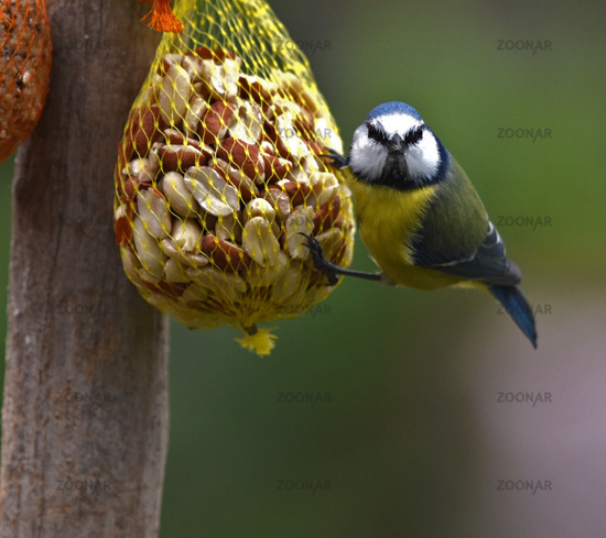 Blue tit in place of food with peanuts