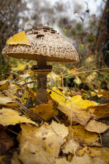 Mushroom Macrolepiota excoriata in the autumn forest