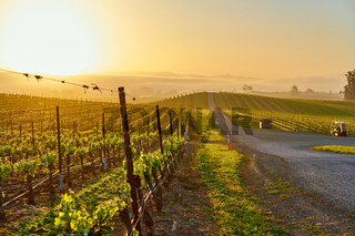Vineyards at sunrise in California, USA