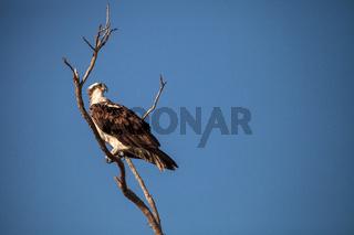 Osprey bird of prey Pandion haliaetus sits in a dead tree