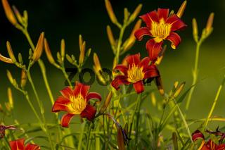The orange day-lily(Hemerocallis fulva)