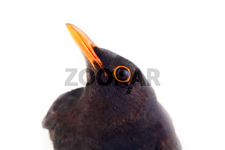 Blackbird (Turdus merula, male) on white background