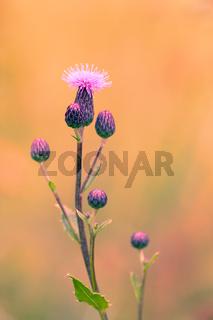 flower musk thistle, Carduus nutans