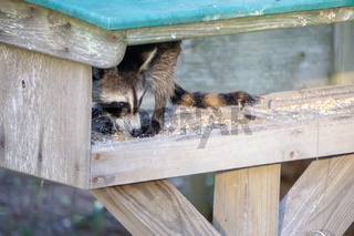 raccoon stealing food from feeder