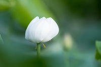 white lotus flower in bloom