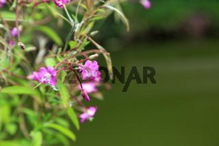 Zottiges Weidenröschen, Great willowherb, epilobium hirsutum