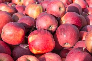 picked ripe apples