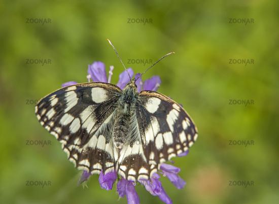 Marbled white  'Melanargia galathea'