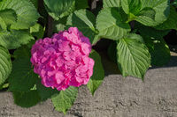 one pink hydrangeas in the garden closeup