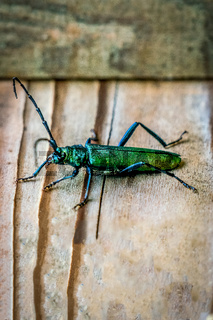 Macro close up of a shiny green Spanish fly beetle (Lytta vesicatoria) sitting on a wooden plate
