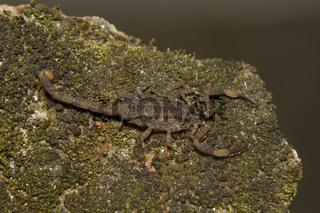 Bark Scorpion, Isometrus sp., Buthidae, Thenmala, Kerala. India
