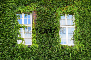 Windows of old house on wall mantled with ivy